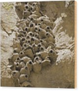 Cliff Swallow Hirundo Pyrrhonota Nests Wood Print