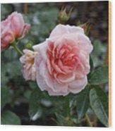 Climber Romantica Tea Rose Wood Print