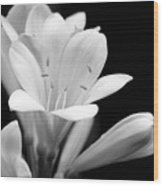 Clivia Flowers Black And White Wood Print
