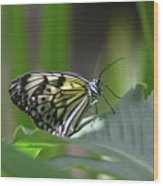 Close Up Look At A Paper Kite Butterfly On Foliage Wood Print