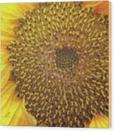 Close Up Of A Sunflower Head Wood Print