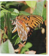 Close-up Of A Vibrant Gulf Fritilary Butterfly  Wood Print