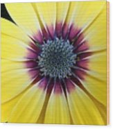 Close-up Of A Yellow African Daisy Wood Print