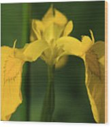 Close Up Of A Yellow Bearded Iris Wood Print