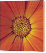 Close Up Of An Orange Daisy Wood Print