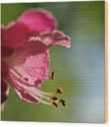 Red Horsechestnut Flower Wood Print