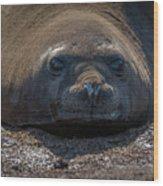 Close-up Of Elephant Seal Looking At Camera Wood Print