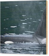 Close-up Of Killer Whale In Johnstone Wood Print