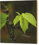 Close Up Of Leaves In Forest Wood Print