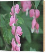 Close Up Of Peacock Pink Bleeding Hearts On Hunter Green Foliage 2 Wood Print