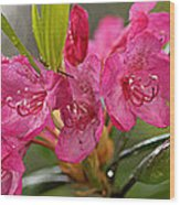 Close-up Of Pink Horatio Flowers Wood Print