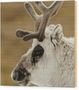 Close-up Of Reindeer Head On Snowy Ridge Wood Print