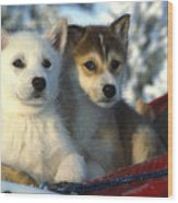 Close Up Of Siberian Husky Puppies Wood Print by Nick Norman