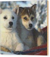 Close Up Of Siberian Husky Puppies Wood Print