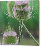 Close Up Of Teasel Blossoms Revealing Wood Print
