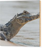Close-up Of Yacare Caiman On Sandy Beach Wood Print