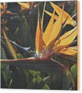 Close Up Photo Of A Bee On A Bird Of Paradise Flower  Wood Print