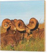 Close Up Portrait Group Of Big Bighorn Mountain Sheep Rams Wood Print