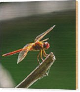 Close Up Red Dragonfly Wood Print