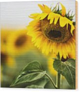 Close Up Single Sunflower In South Dakota Wood Print