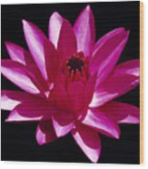 Close Up View Of A Red Water Lily Wood Print