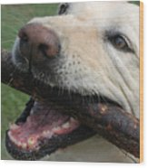 Close View Of A Yellow Lab With Worn Wood Print by Stacy Gold