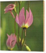Close View Of Shooting Star Flowers Wood Print by Phil Schermeister