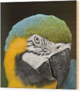 Closeup Of A Captive Blue-and-yellow Wood Print