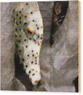 Closeup Of A Cleaner Shrimp Lysmata Wood Print