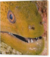 Closeup Of A Giant Moray Eel Wood Print