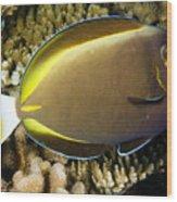 Closeup Of A Whitecheek Surgeonfish Wood Print by Tim Laman