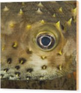 Closeup Of A Yellowspotted Burrfish Wood Print by Tim Laman