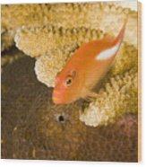 Closeup Of An Arc-eye Hawkfish Wood Print