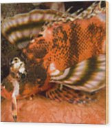 Closeup Of An Ocellated Lionfish Wood Print
