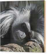 Closeup Of Black And White Angolian Primate Sleeping On Log Raft Wood Print