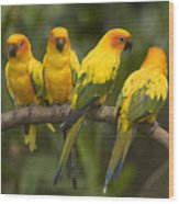 Closeup Of Four Captive Sun Parakeets Wood Print