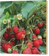 Closeup Of Fresh Organic Strawberries Growing On The Vine Wood Print