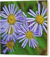 Closeup Of Leafy Bract Asters On Iron Creek Trail In Sawtooth National Wilderness Area-idaho  Wood Print
