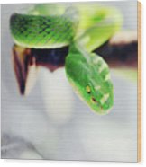 Closeup Of Poisonous Green Snake With Yellow Eyes - Vogels Pit Viper  Wood Print
