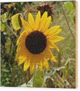 Closeup Of Sunflower In Farm Wood Print