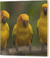 Closeup Of Three Captive Sun Parakeets Wood Print