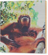 Closeup Portrait Of A Wild Sumatran Adult Female Orangutan Climbing Up The Tree And Holding A Baby Wood Print