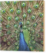 Closeup Portrait Of An Indian Peacock Displaying Its Plumage Wood Print