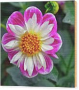Closeup View Of A Dahlia That Was In The Cesky Krumlov Castle Gardens Wood Print