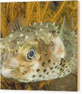 Closeupf Of A Yellowspotted Burrfish Wood Print by Tim Laman
