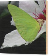 Cloudless Giant Sulphur Butterfly  Wood Print
