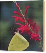 Cloudless Sulphur And Pineapple Sage Wood Print