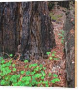 Clover And Redwood Wood Print