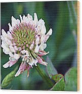 Clover Blossom Wood Print