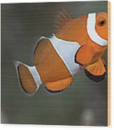 Clown Anemonefish (amphiprion Ocellaris) Wood Print